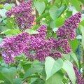 Arbustes à floraison printanière