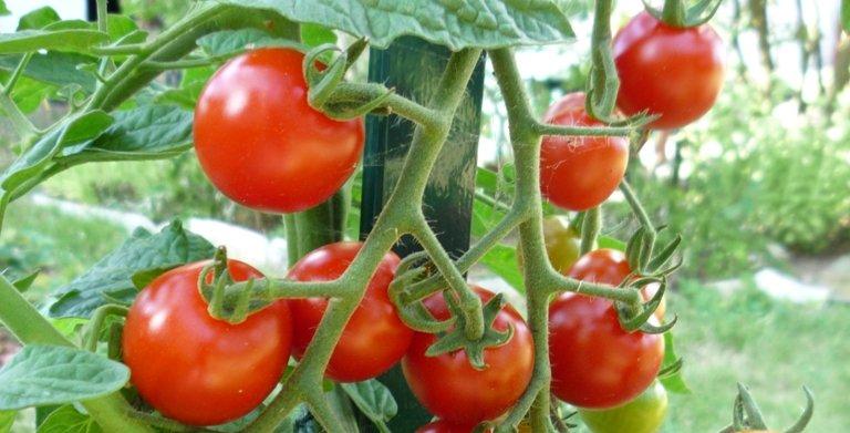 Protéger les pieds de tomates pour avoir de beaux fruits sains.