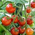 Serre de protection pour réussir ses tomates