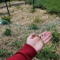Paillage de blé envahissant au potager