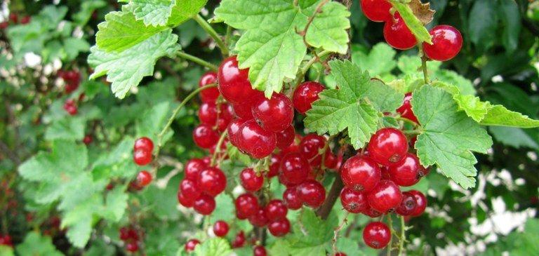 Taille du groseillier pour avoir de belles grappes de petits fruits - Domaine Public - Dinkum