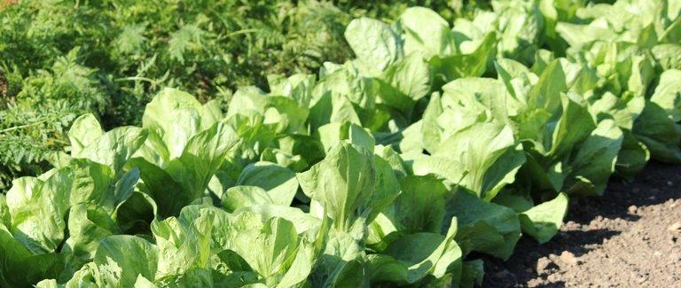 A l'abri, semez des salades dès novembre