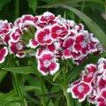 Quelles fleurs semer ou planter en août au jardin ?