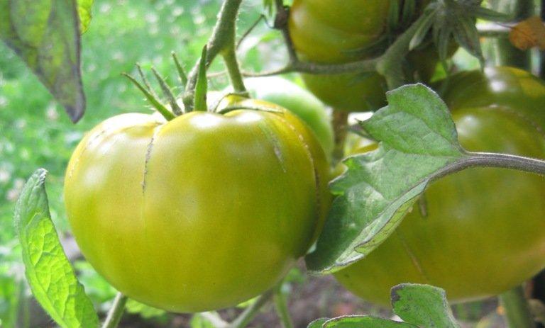 Faire mûrir des tomates vertes