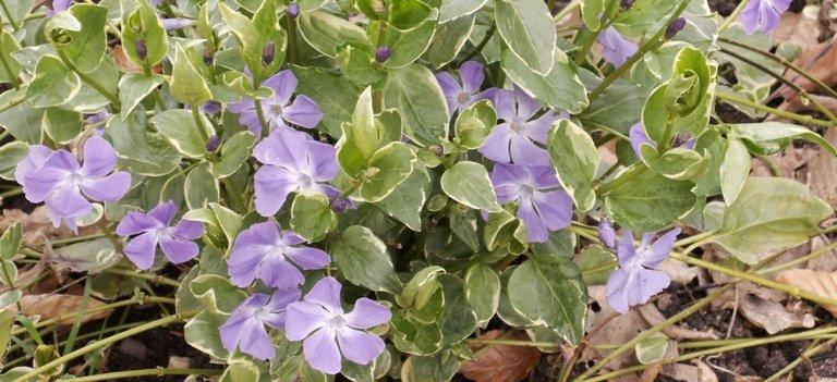 Pervenche bleutée comme tapis pour lutter contre les mauvaises herbes