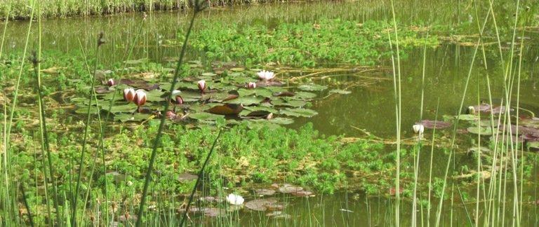Bassin bordé de plantes de berges et aquatiques