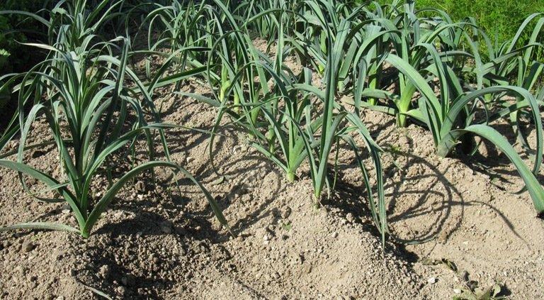 Faire des buttes de terre pour protéger les poireaux en hiver