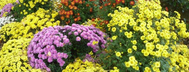 Explosion de couleurs avec ces pots de chrysanthèmes