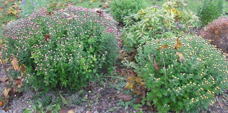 Massifs de chrysanthèmes en début de floraison