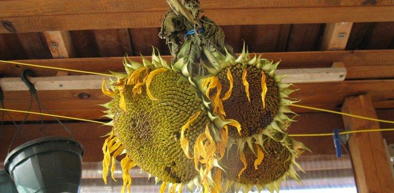 Bouquet de tournesols dans un abri de jardin