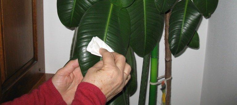 Dépoussiérer des feuilles de ficus