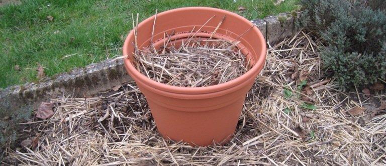 Plantation de pommes de terre en pot réussie
