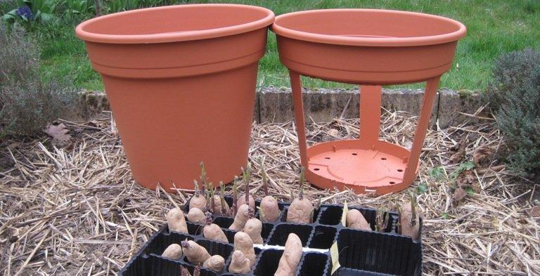 Les pots sont prêts pour cultiver les pommes de terre