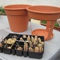 Planter les pommes de terre dans un pot