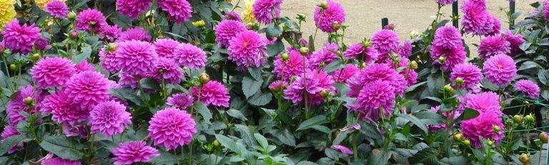 Floraison magnifique de dahlias tout l'été.
