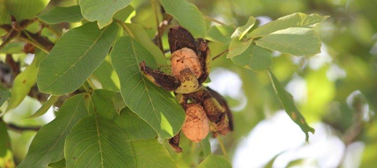 Coques sur les noix fraîches