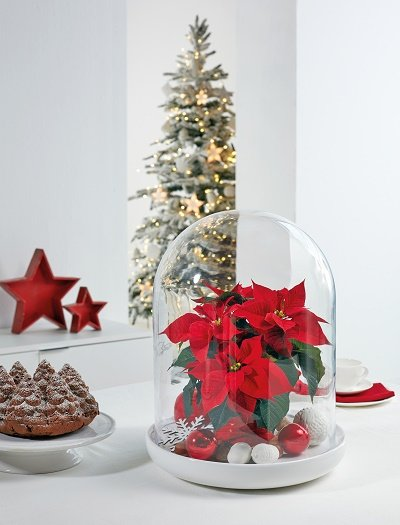 Poinsettia sous cloche