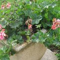 Hiverner les potées de géraniums