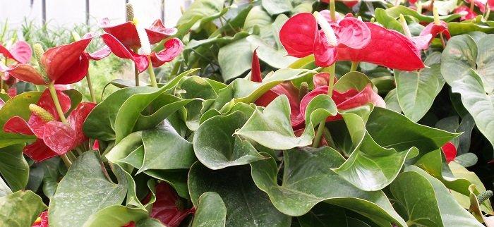 Plantes d'intérieur fleuries