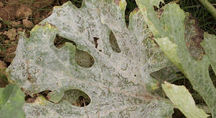 Taches blanches sur les feuilles