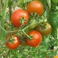 C'est quoi un plant de tomates greffé ?