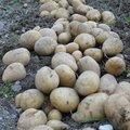 4 gestes essentiels pour réussir les pommes de terre ?