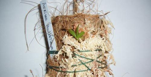 Les racines épiphytes des orchidées :