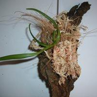 Rhynchostylis coelistis (Vanda)
