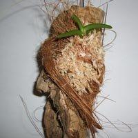 Cleisostoma arietinum