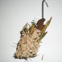 Dendrobium ophioglossum var. album