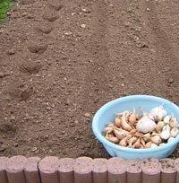 Etape 2 : planter des caïeux d'ail et échalote