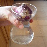 Forcer un bulbe de jacinthe