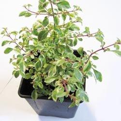 Fuchsia microphylla panaché