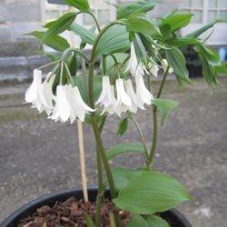 Trophée dans la catégorie plantes vivaces : Disporum species