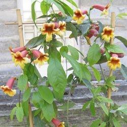 Trophée dans la catégorie plantes grimpantes : Bignonia capreolata