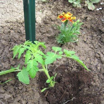 Mise en place du pied de tomate