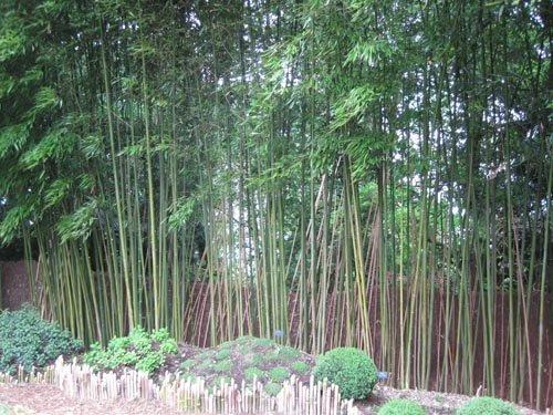 La mauvaise image des bambous