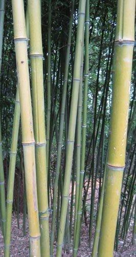 Espèces de bambous conseillées