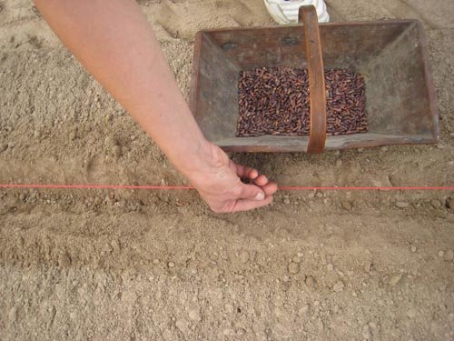 Semis des haricots