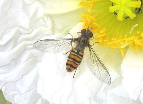 Observez différents insectes pollinisateurs