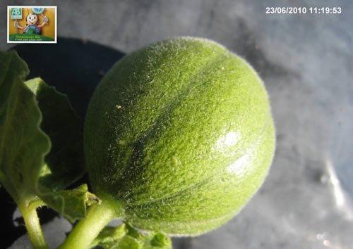 Formation des fruits - 3