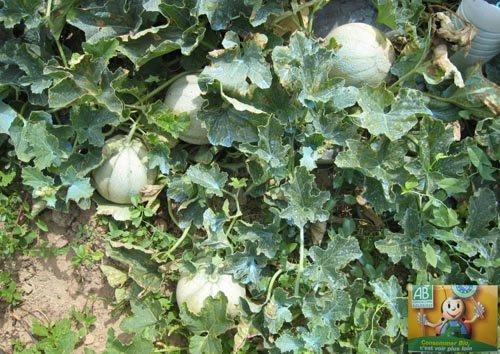 Mûrissement des melons