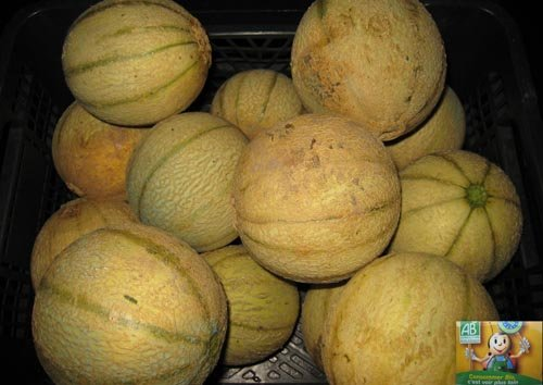 Déguster les melons