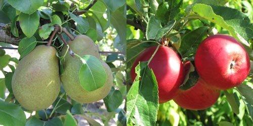 Les fruits à pépins