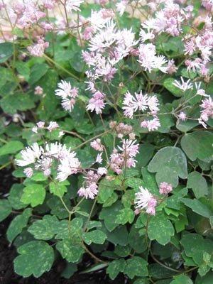 Trophée dans la catégorie plantes vivaces : Thalictrum kiusianum