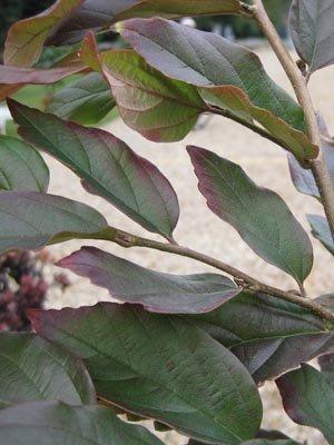 Trophée dans la catégorie arbres et arbustes : Sycoparrotia 'Purple Haze'