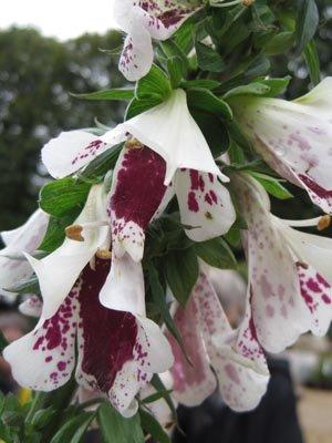Trophée dans la catégorie plantes annuelles ou bisannuelles : Digitalis purpurea 'Pam's Split'