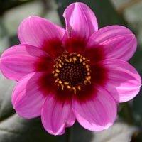 Dahlia à fleur d'anémone