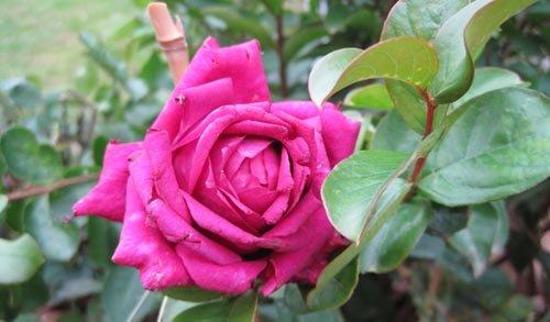 Rose au parfum intense