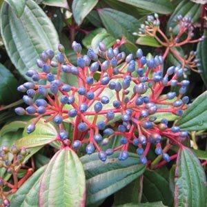 Viburnum davidii - Viorne